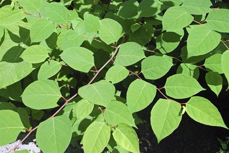 Japanese knotweed an 'unknown' quantity for rail